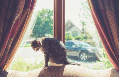 kot dachowiec siedzący na tle okna z brązowymi zasłonami