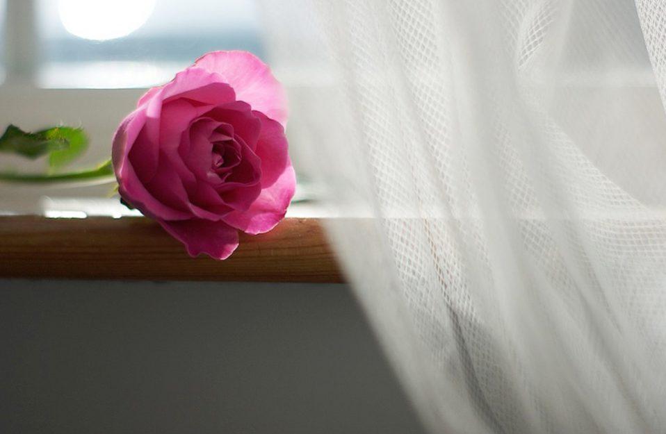 różowa róża leżąca na drewnianym parapecie obok wiszącej białej firanki