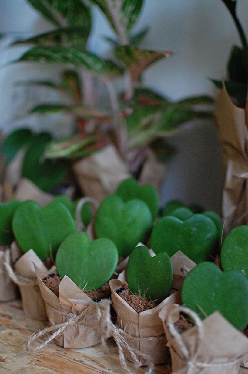 roślinka liść wkształcie serca