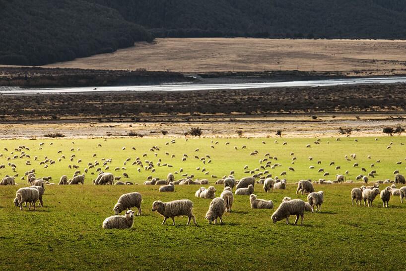 bardzo duża zielona łąką zpasącymi się owcami