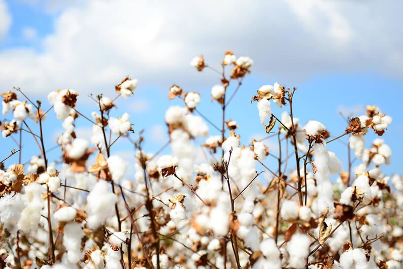 bawełna przed zebraniem krzakau