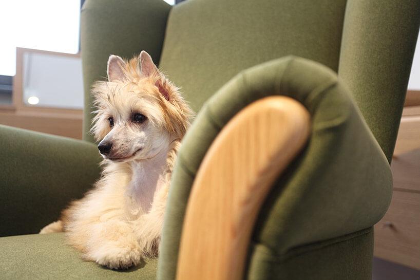 jasny pies na zielonym fotelu